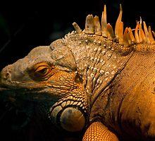 Iguana by Agro Films