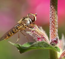 Hoverfly by AnnieSnel