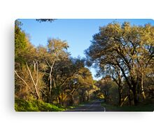 Live Oaks on the Bear Valley Road, Point Reyes, CA Canvas Print