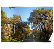Live Oaks on the Bear Valley Road, Point Reyes, CA Poster