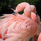 Grooming Flamingo by Shawn Powell