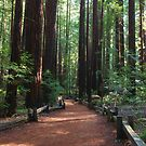 Through the Redwoods by Barbara  Brown