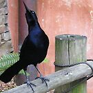 Boat-tailed Grackle by DonnaMoore