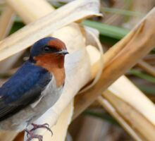 Welcome Swallow - CHC - NZ Sticker
