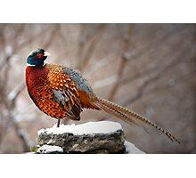 Ring-Necked Pheasant Photographic Print