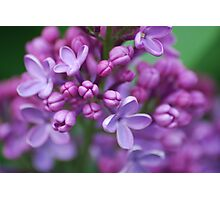Lilac Photographic Print