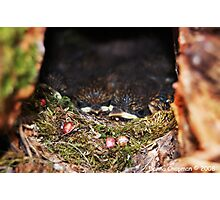 Baby Robins Photographic Print