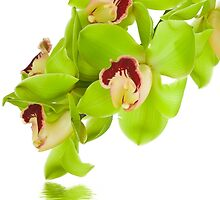 Green Orchid by christinaree