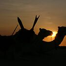 Camels at Sunset in the Sahara desert by rlnorton