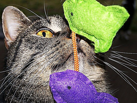 Bootsie Concentrating On Her Toy by Jonice
