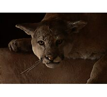 Magnificent Exciting Dangerous - The Mountain Lion Photographic Print