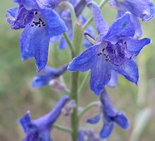 Blue Delphinium by Elizabeth McCoy