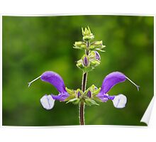 Purple Perennial Poster