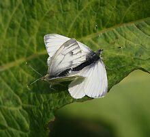 Mating Butterflies by Robert Abraham