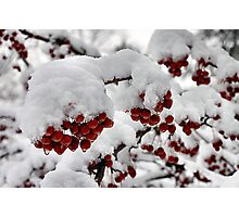 Red Berries with Snow Photographic Print