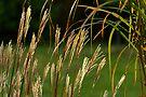 Grasses by Stephen Beattie