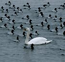 Swan VII - Dare to be Different! by Louise Fahy