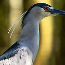 Black Capped Night Heron Portrait by imagetj