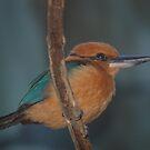 Kingfisher by loiteke