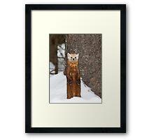 Pine Marten - Algonquin Park Framed Print