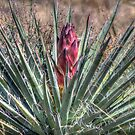Yucca Blooming by Roger Passman