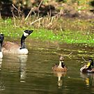 Geese and Ducks Sharing the Lake by Photography by TJ Baccari