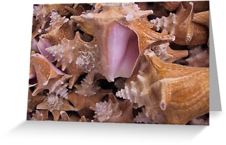 Queen Conch Shells by May Lattanzio