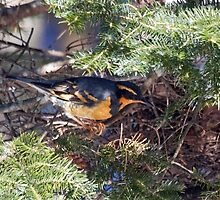 Varied Thrush by lloydsjourney