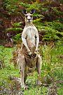 Eastern Grey Kangaroo by Darren Stones