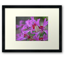 Ribbon Clarkia Framed Print