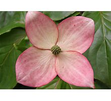 Pink dogwood Photographic Print