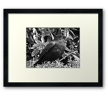 Blackbird in black and white Framed Print