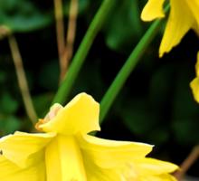 Daffodils by a gate  Sticker