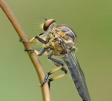 Common Yellow Robber Fly by Andrew Trevor-Jones