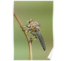 Common Yellow Robber Fly Poster