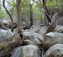 The knarled roots of Emerald Creek North Queensland by Goggo