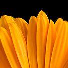 Yellow Gerbera by Janine  Hewlett