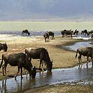 Wildebeeste at Lake Magadi, Ngorongoro Crater, Tanzania by Bev Pascoe