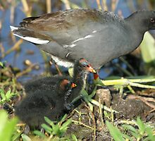 COMMON MOORHEN & CHICKS by H & B Wildlife  Nature Photography
