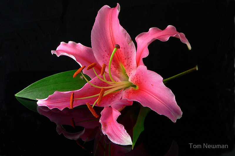 Acapulco Lily by Tom Newman