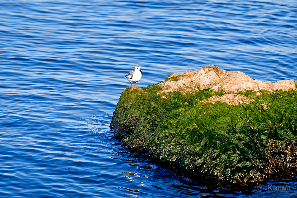Seagull on Rock by JKunnen