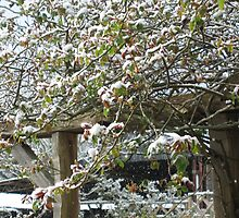 Rose buds and branches in the snow (Clementis) by FarmMostyns