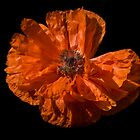 Orange Poppy by Gerry Danen