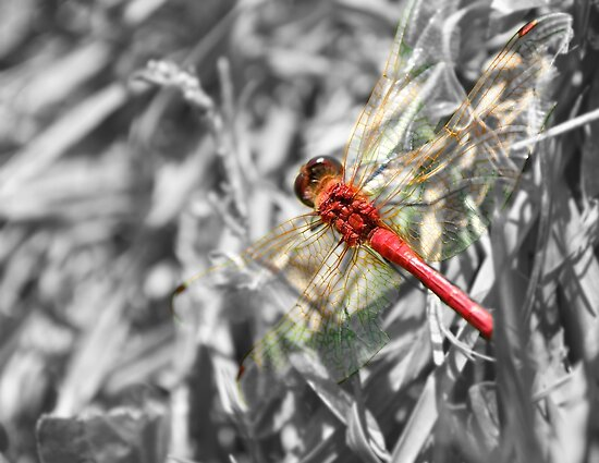 Red Dragonfly by lindsycarranza