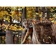 Autumn Tiger  Photographic Print