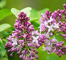 Beautiful Lilac Flowers by Christina Rollo