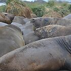 Elephant seals moulting by Phemie