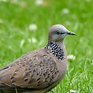 Malay Spotted Dove - NZ by AndreaEL