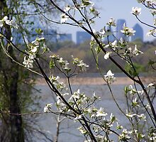 dallas skyline with cherry blossoms by John R. Shook