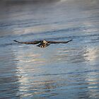 Juvenile Eagle 2015-4 by Thomas Young
